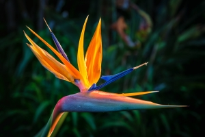 Bird of Paradise Plant in Full Bloom